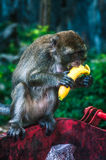 Monkey eating a banana. Monkey sitting on the red trash bin with banana stock photography