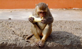 Monkey eating banana. Sitting on the street in India. Street monkeys looking for food among the trash and rubbish in Indian city on the asfalt stock images
