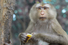 Monkey eating banana of the temple of Angkor Wat. Stock Photo