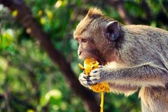 A monkey is eating a banana is on the tree. A monkey is eating a banana is on the tree Which these monkey lives at Sammuk mountain.People and tourist like to royalty free stock images