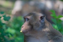 Monkey eating banana. Turned to look for a friend stock photography