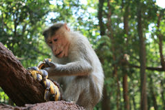 Monkey eating bananas Royalty Free Stock Photography