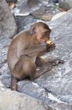 Monkeys on the beaches of Thailand. Monkey eating on the beach Royalty Free Stock Photography