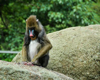 Monkey eating, Berlin Zoo Royalty Free Stock Image