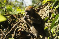 Monkey Eating on Branch. Monkey Eating fruit on Branch at Batu Caves. Baby Monkey Eating Stock Image