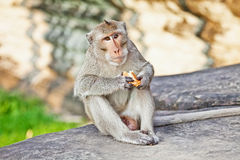 Monkey eating bread Royalty Free Stock Images