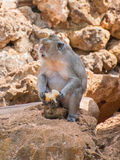 Monkey eating bread. Royalty Free Stock Photography