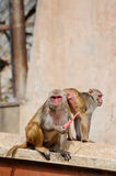 Monkey eating a carrot in India Stock Photos