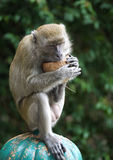 A Monkey Eating a Coconut Royalty Free Stock Photography