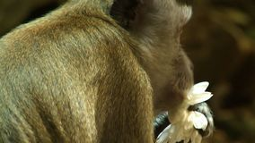 Monkey Eating Coconut And Flower. Handheld, close up shot of a macaque monkey eating a coconut and a flower stock video footage