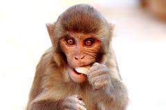 Monkey eating coconut in Swayambhunath temple Royalty Free Stock Photo