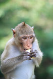 A Monkey eating corn Stock Image