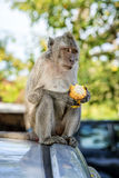 Monkey Eating Corn. Monkey posing on car whilst eating corn Royalty Free Stock Images