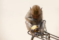 Monkey eating corn Royalty Free Stock Photo