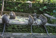 Monkey eating corns together around the temple area, Bali-Indonesia royalty free stock image