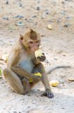 Monkey eating a cornstalk. Thailand Royalty Free Stock Images