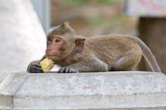 Monkey eating a cornstalk. Thailand Stock Image