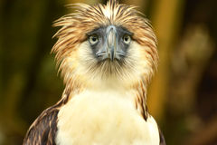 Monkey eating eagle. The monkey eating eagle fiercely looking Royalty Free Stock Photo