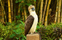 Monkey eating eagle. The monkey eating eagle resting on a branch Royalty Free Stock Image