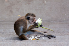 Monkey eating flower Royalty Free Stock Images