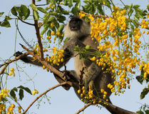 Monkey eating flowers Royalty Free Stock Photography