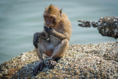 Monkey eating food given by tourists. Royalty Free Stock Images