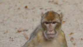 Monkey eating food stock footage