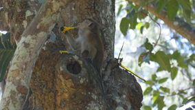 Monkey eating fresh fruit in the tropical park. Vertet in Sri Lanka. Close up stock video