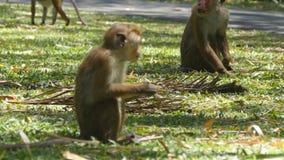 Monkey eating fresh fruit in the tropical park. Vertet in Sri Lanka. Close up stock footage