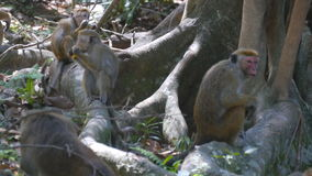 Monkey eating fresh fruit in the tropical park. Vertet in Sri Lanka. Close up stock video footage