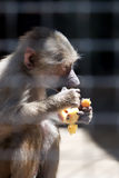 Monkey eating fruit. Captive little monkey eating fruit Royalty Free Stock Photo