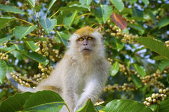Monkey eating fruit. In  forest, Penang, Malaysia Stock Images