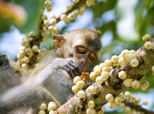 Monkey eating fruit. In  forest, Penang, Malaysia Royalty Free Stock Photography