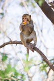 Monkey eating fruit.  Royalty Free Stock Images