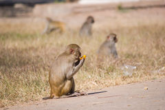 Monkey eating fruit Royalty Free Stock Photo
