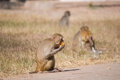 Monkey eating fruit.  Stock Images