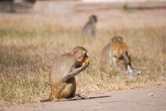 Monkey eating fruit Stock Images