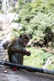 Monkey eating fruit against blurred green background. / Stock Photography