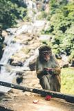Monkey eating fruit against blurred green background. / Stock Photos