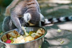 Monkey eating fruit. From bowl Royalty Free Stock Photo