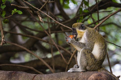 Monkey eating a fruit. At Kololi. Gambia Royalty Free Stock Photography