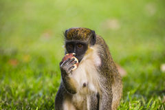 Monkey eating a fruit. At Kololi. Gambia Royalty Free Stock Image