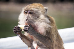 Monkey eating fruit. And making a mess Stock Photo