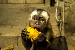 Monkey eating fruit. Monkey eating peach in a shelter near the Inca trail Stock Image