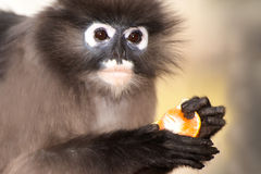 Monkey eating fruit ( Presbytis obscura reid ). Monkey eating orange ( Presbytis obscura reid Stock Image