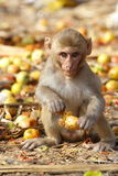 Monkey eating the fruit at the roadside of India.  Royalty Free Stock Photos