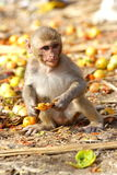 Monkey eating the fruit at the roadside of India.  Stock Photos