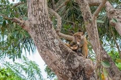 Monkey eating fruit sitting on the tree. In Sri Lanka Stock Photography