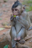 Monkey eating a fruit. Small monkey eating a piece of fruit in Cambodia Royalty Free Stock Photo