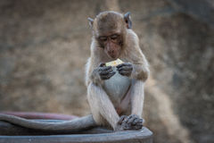 Monkey eating a fruit snack. Against blurred background Royalty Free Stock Photo